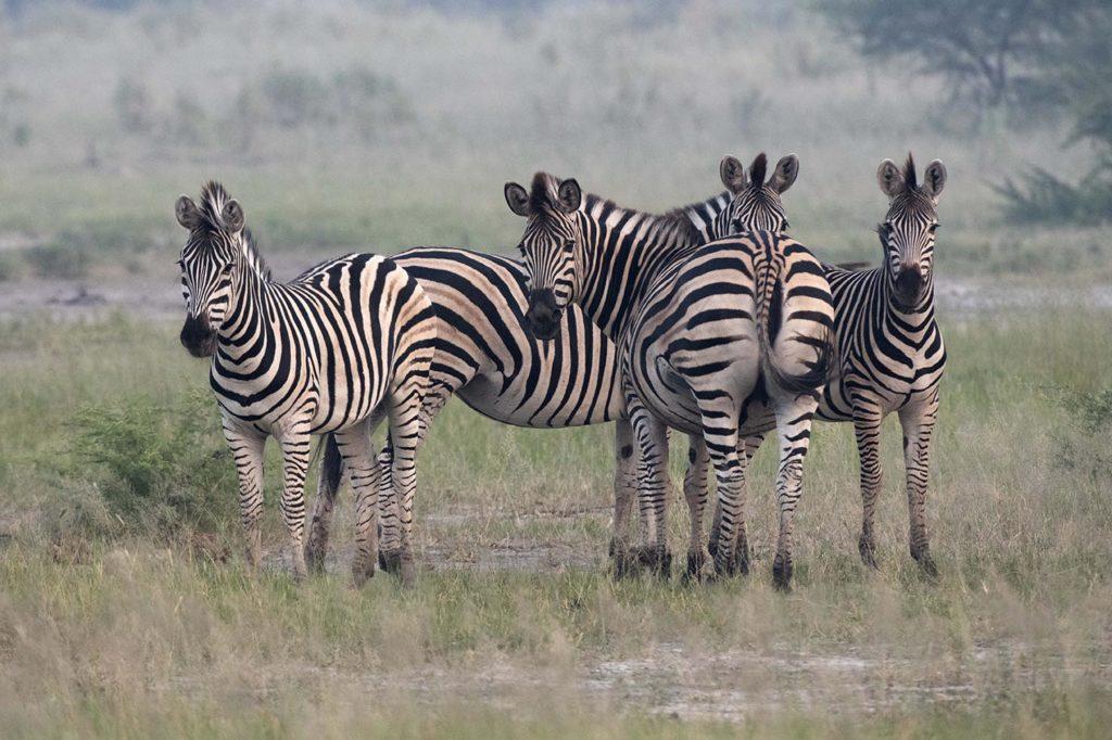 botswana-zebras-gamedrive
