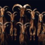 fragile-teneues-pedro-jarque-krebs-barbary-sheep