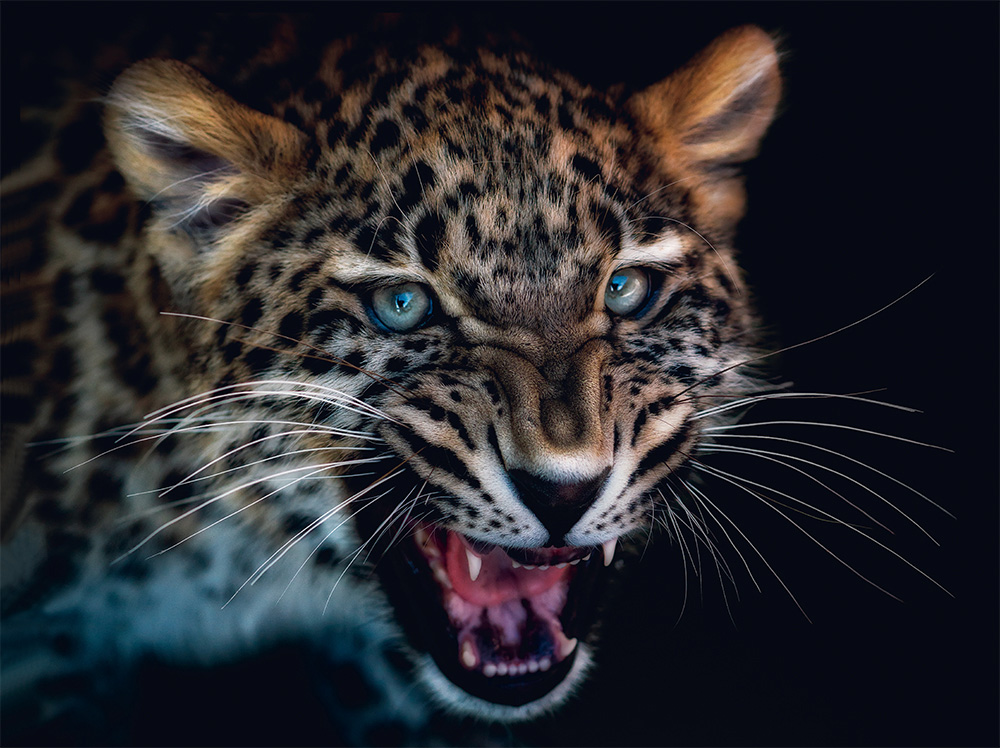 fragile-teneues-pedro-jarque-krebs-luipaard
