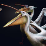 fragile-teneues-pedro-jarque-krebs-pelicans