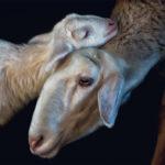 fragile-teneues-pedro-jarque-krebs-sheep