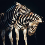 fragile-teneues-pedro-jarque-krebs-zebra's
