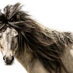 horses-of-iceland-teneues-guadalupe-laiz-lion
