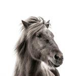 horses-of-iceland-teneues-guadalupe-laiz-pride