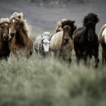 horses-of-iceland-teneues-guadalupe-laiz-small-fire