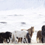 horses-of-iceland-teneues-guadalupe-laiz-towards-the-north-II