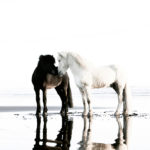 horses-of-iceland-teneues-guadalupe-laiz-two-stallions