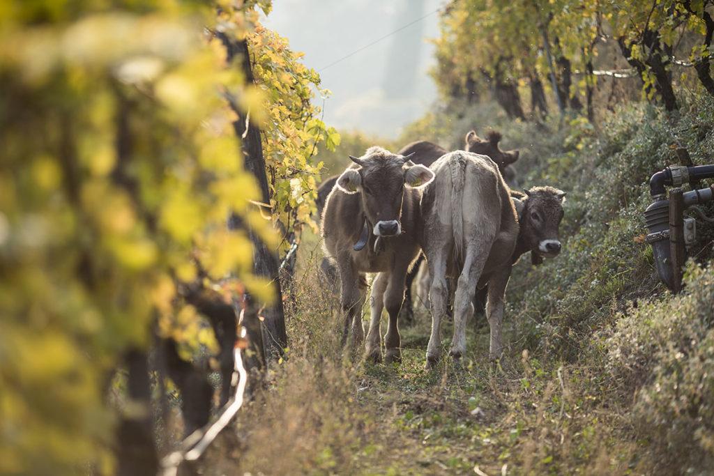 zuid-tirol-alois-lageder-wijngaard