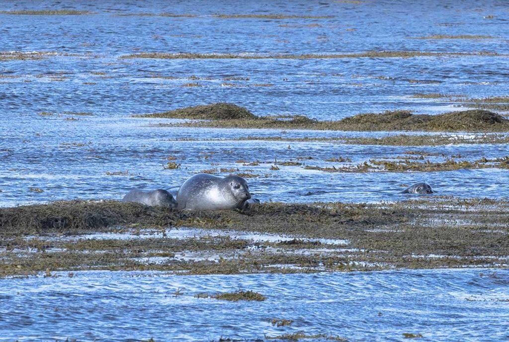 ijsland-noorden-zeehond-met-jong