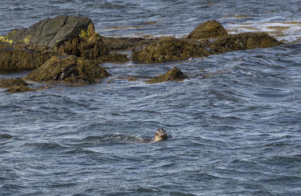 noord-ijsland-nieuwsgierige-zeehond