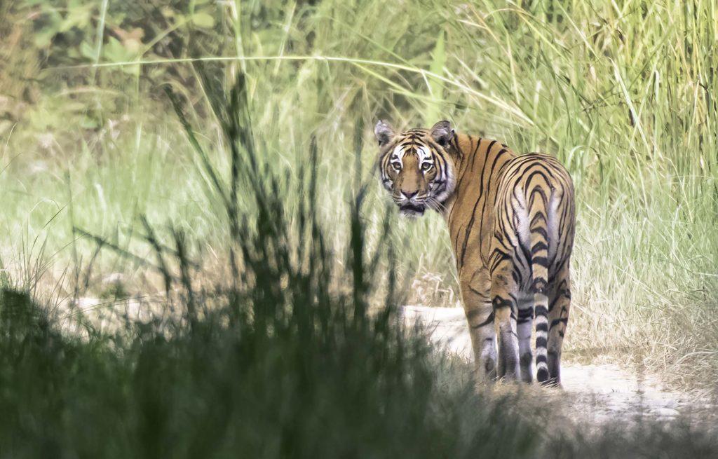 bardia-tiger-close-up
