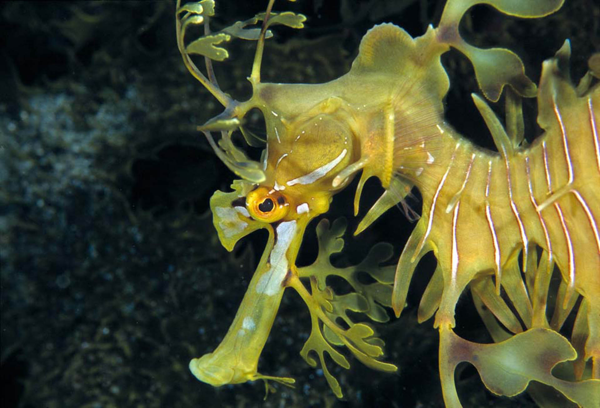 dos-winkel-leafy-sea-dragon-onderwater-fotografie