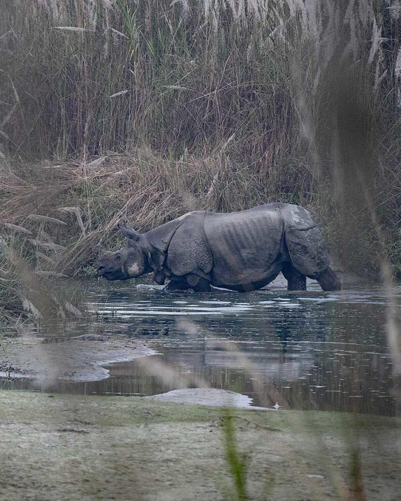 nepal-bardia-neushoorn-staand