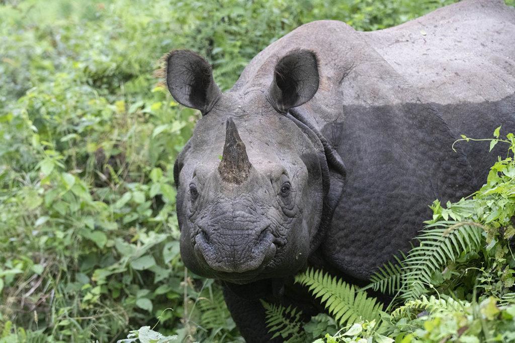 nepal-chitwan-neushoorn-closeup