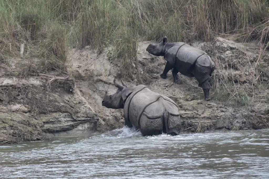 nepal-chiwan-neushoorn-met-kalf