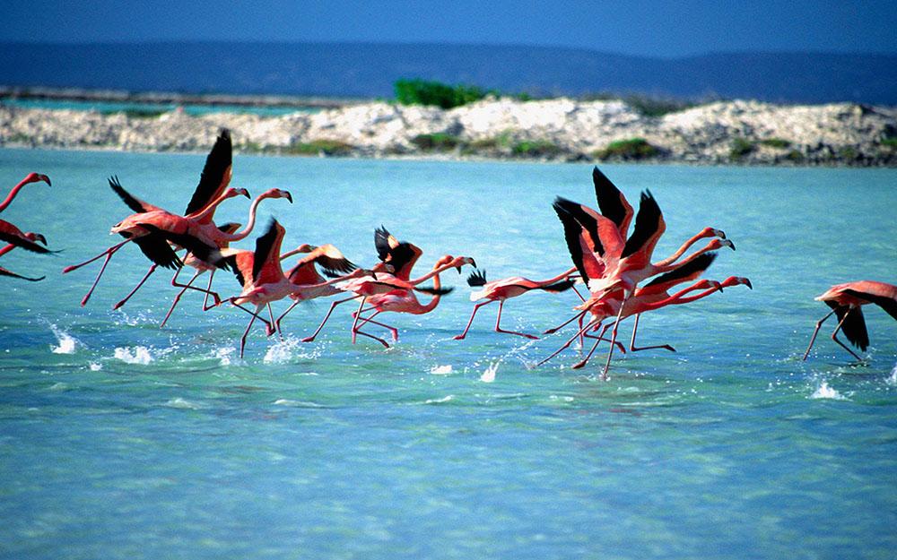 Bonaire-flamingos-tourismcooperationbonaire