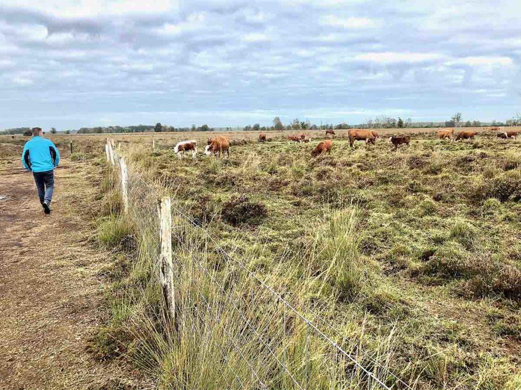 bargerveen-natuurpark moor-meerstalblok-koeien-drenthe jpg