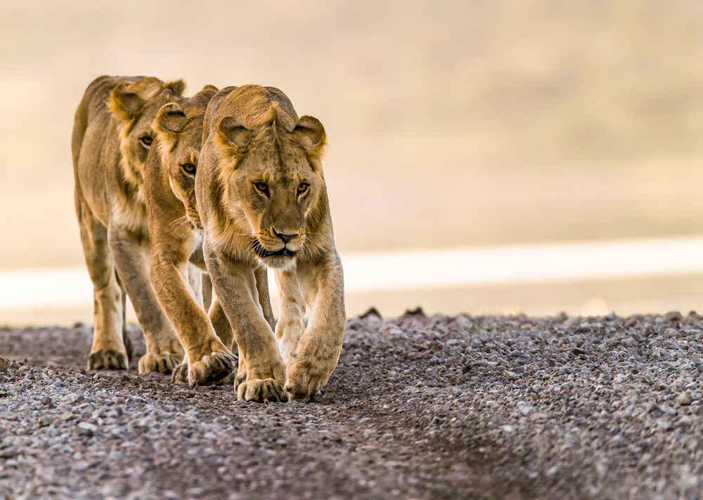 the-world-michael-poliza-three-lionesses-teneues