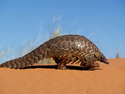 Cape pangolin-