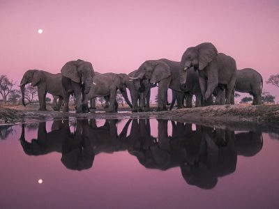 frans-lanting-elephants