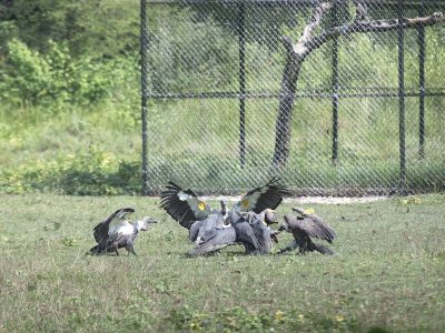 nepal-chitwan-vulture-program