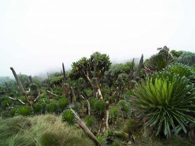 oeganda-mahuvura-vulkaan-giant-lobelias